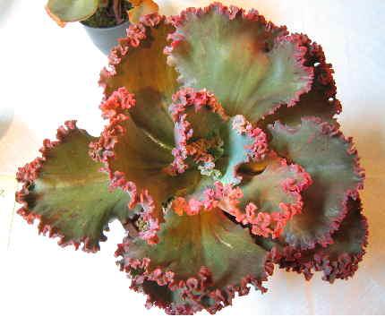 Echeveria cv. Zipper の写真
