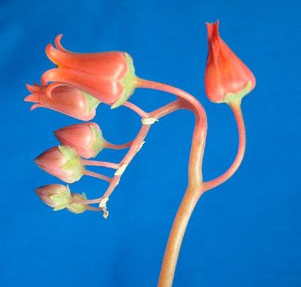 Echeveria lilacina flowerの写真