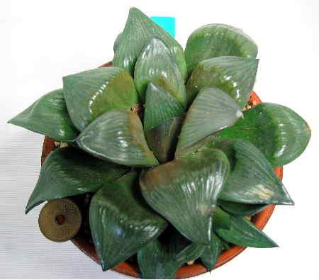 Haworthia retusa f. variegata