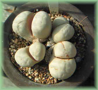 Lithops ruschiorum
