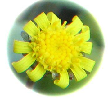 Othonna clavifolia flower