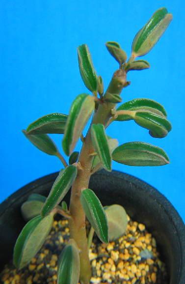 Peperomia asperula