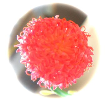 Senecio fulgens flower