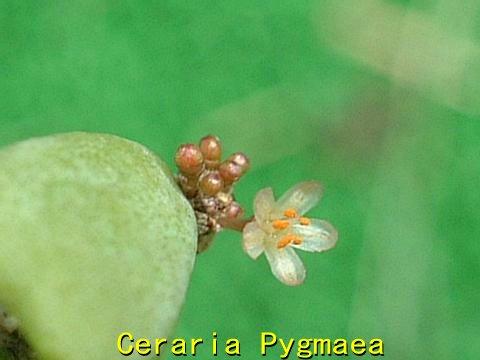 Ceraria pygmaea flower