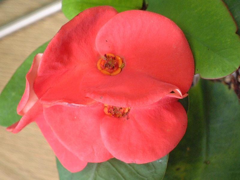 Euphorbia milii 'Ma nee Jintana'