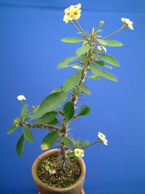 Euphorbia milii var. tananarivae