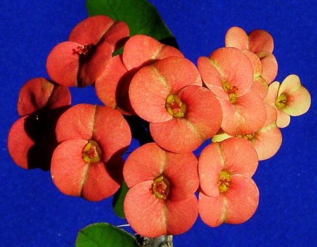 Euphorbia milii var. tenuispina flower