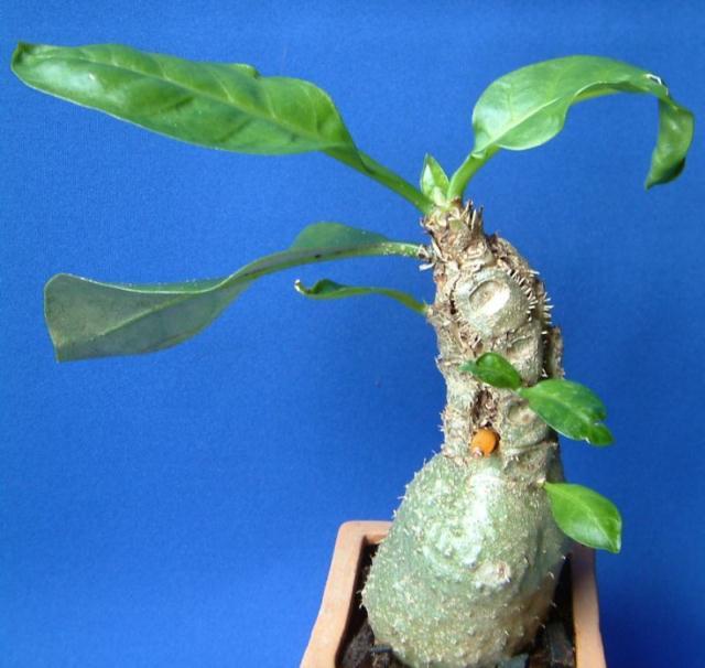 Myrmecodia echinata
