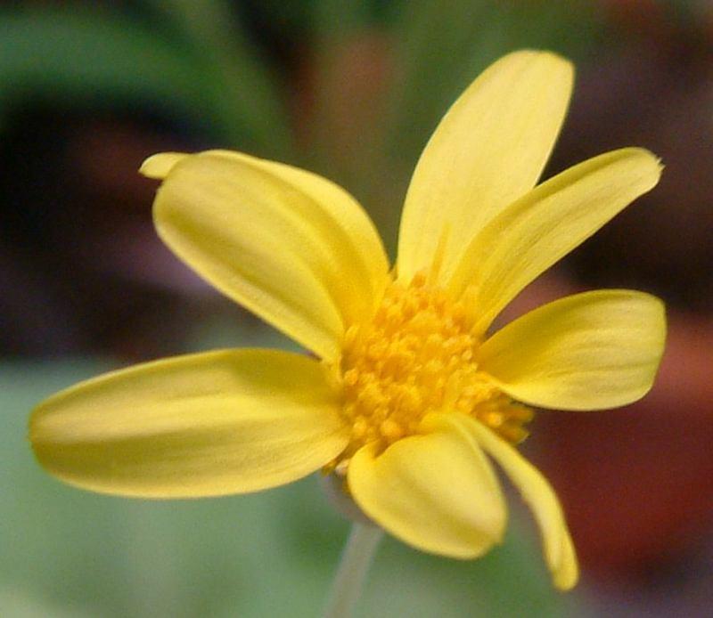 Othonna cychlophylla flower