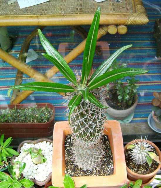 Pachypodium geayi