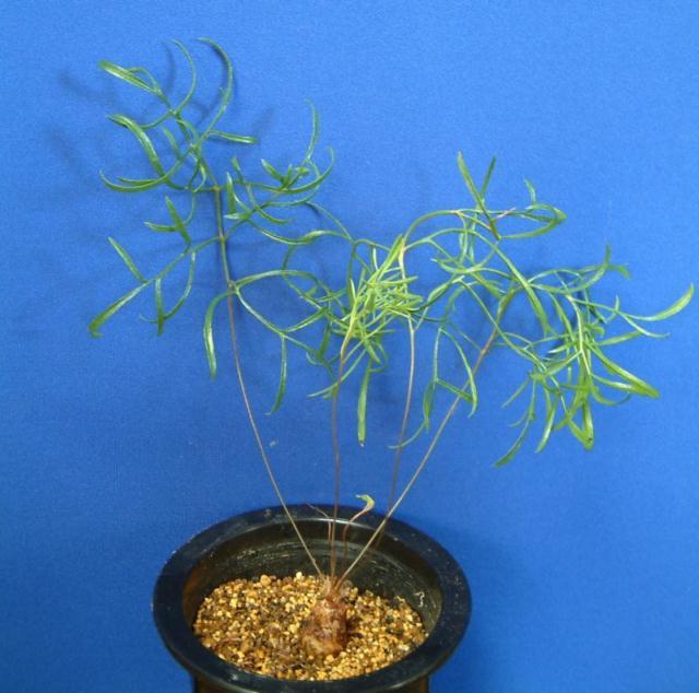 Pelargonium leptum