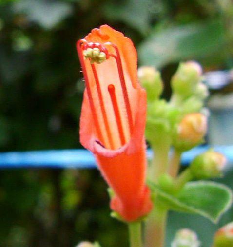 Sinningia bulbosa flower