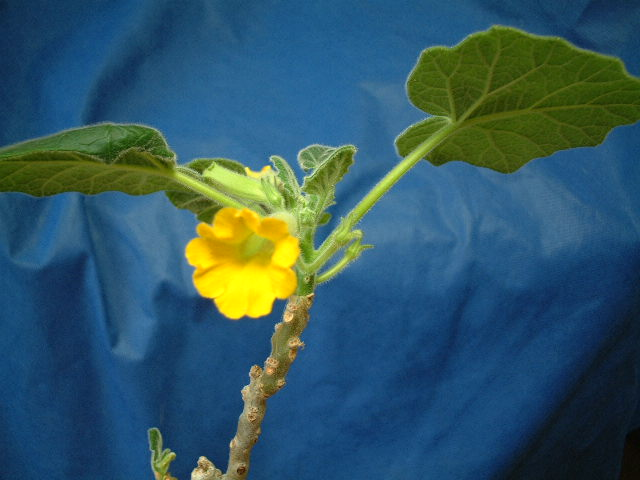 Uncarina roeoesliana flower