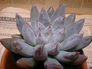 Echeveria tolimanensis の写真