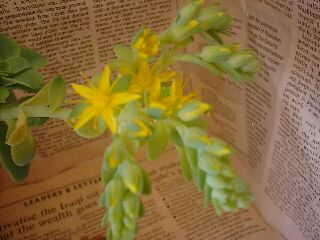 Sedum palmeri flower