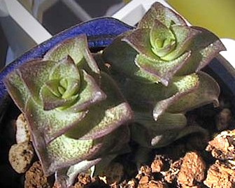 Crassula perforata var.