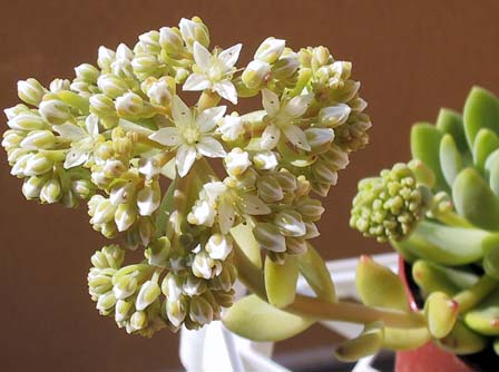 Sedum  'Alice Evans' flower