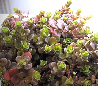 Sedum tetractinum