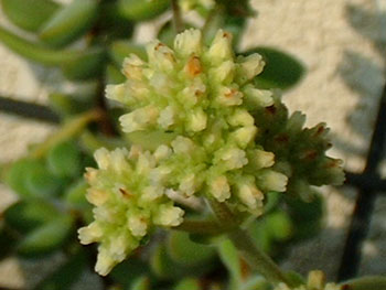 Crassula rogersii flower