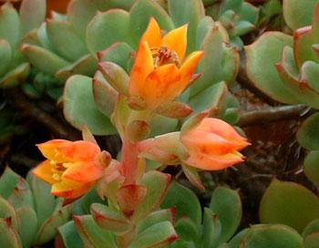 Echeveria cv. Victor