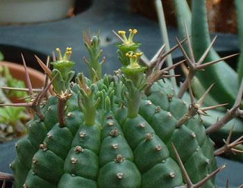 Euphorbia stellaespina flower