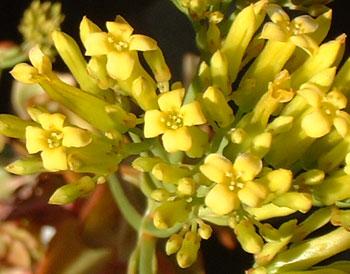 Kalanchoe longiflora var. coccinea flower