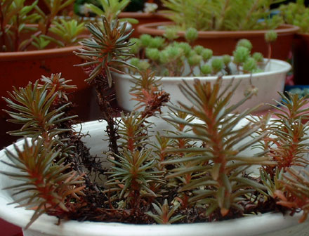 Sedum polytricoides