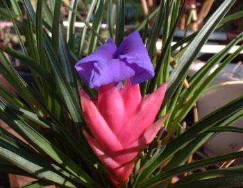 Tillandsia cyanea flower