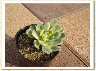 Aeonium domesticum f. variegata