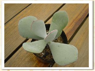 Cotyledon orbiculata 'Yomeiri-Musume'