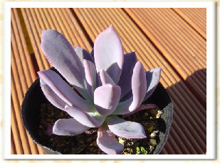 Echeveria cv. AKINOSHIMO