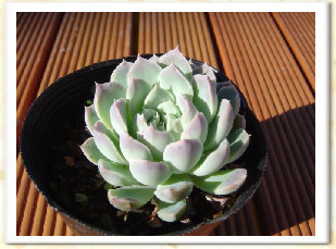 Echeveria cv. MIWAKUNOTSUKI