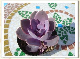 Echeveria cv. Opal