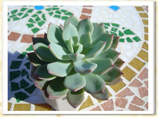 Echeveria cv. LAROKET