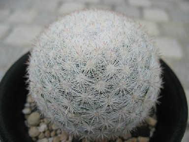 Mammillaria candida var. rosea