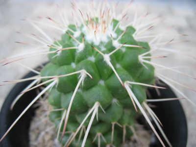 Mammillaria compressa