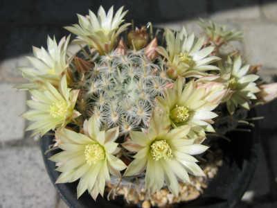Mammillaria duwei flower