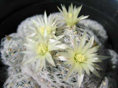 Mammillaria duwei 短刺タイプ