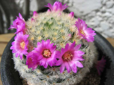 Mammillaria laui flower
