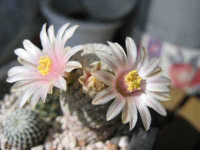 Mammillaria pectinifera flower