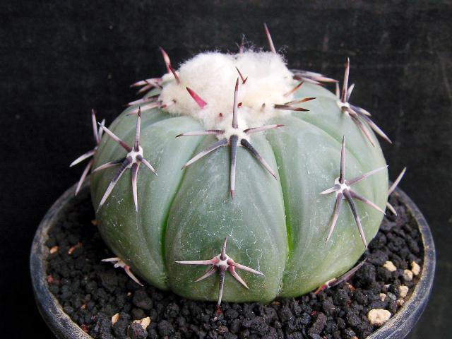 Echinocactus moelleri