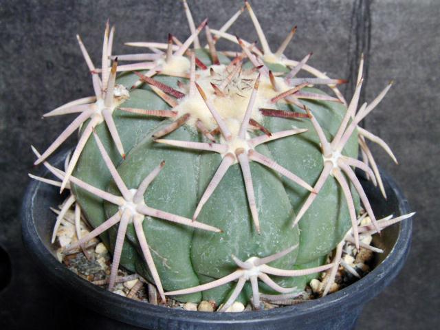 Echinocactus horizonthalonius 翠平丸