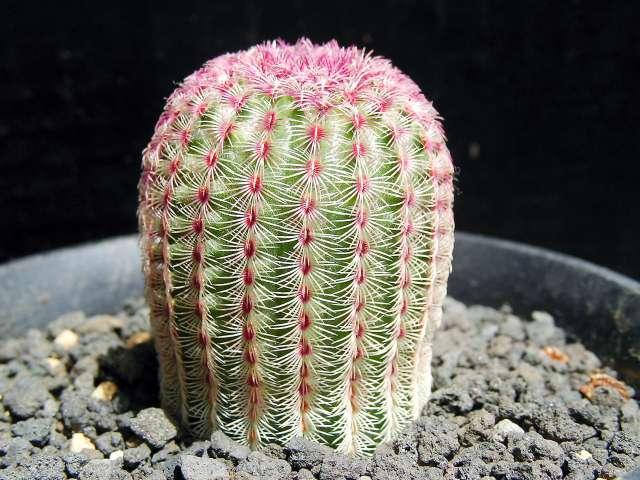 Echinocereus rigidissimus var. rubispinus