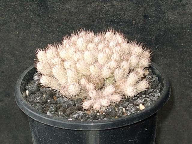 Mammillaria pottsii f.