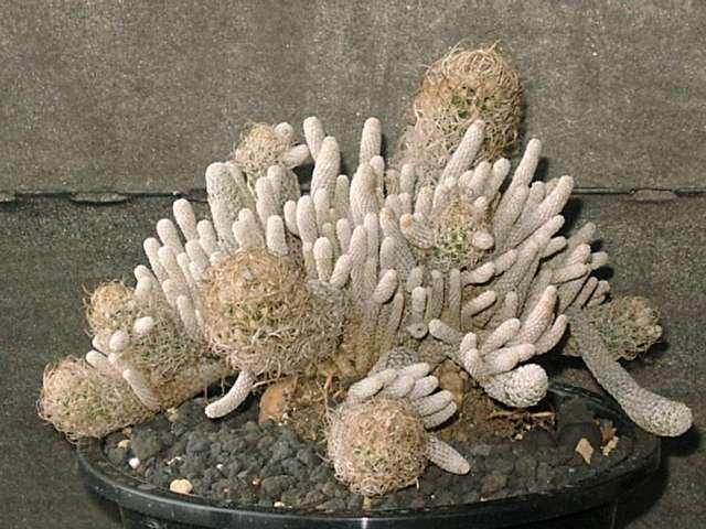 Turbinicarpus minima