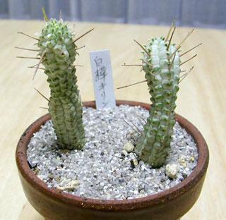 Euphorbia mammillaris cv.'Variegata'