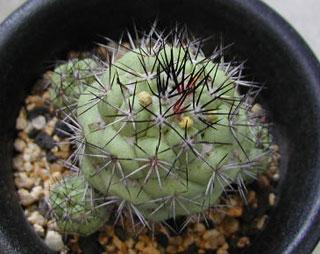 Ortegocactus macdougallii