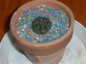 Gymnocalycium baldianum