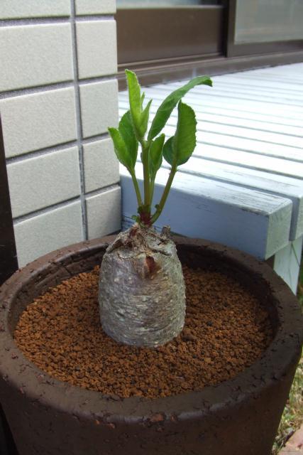 Jatropha sp. isonga