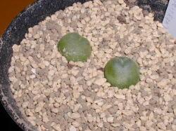 Conophytum ratum